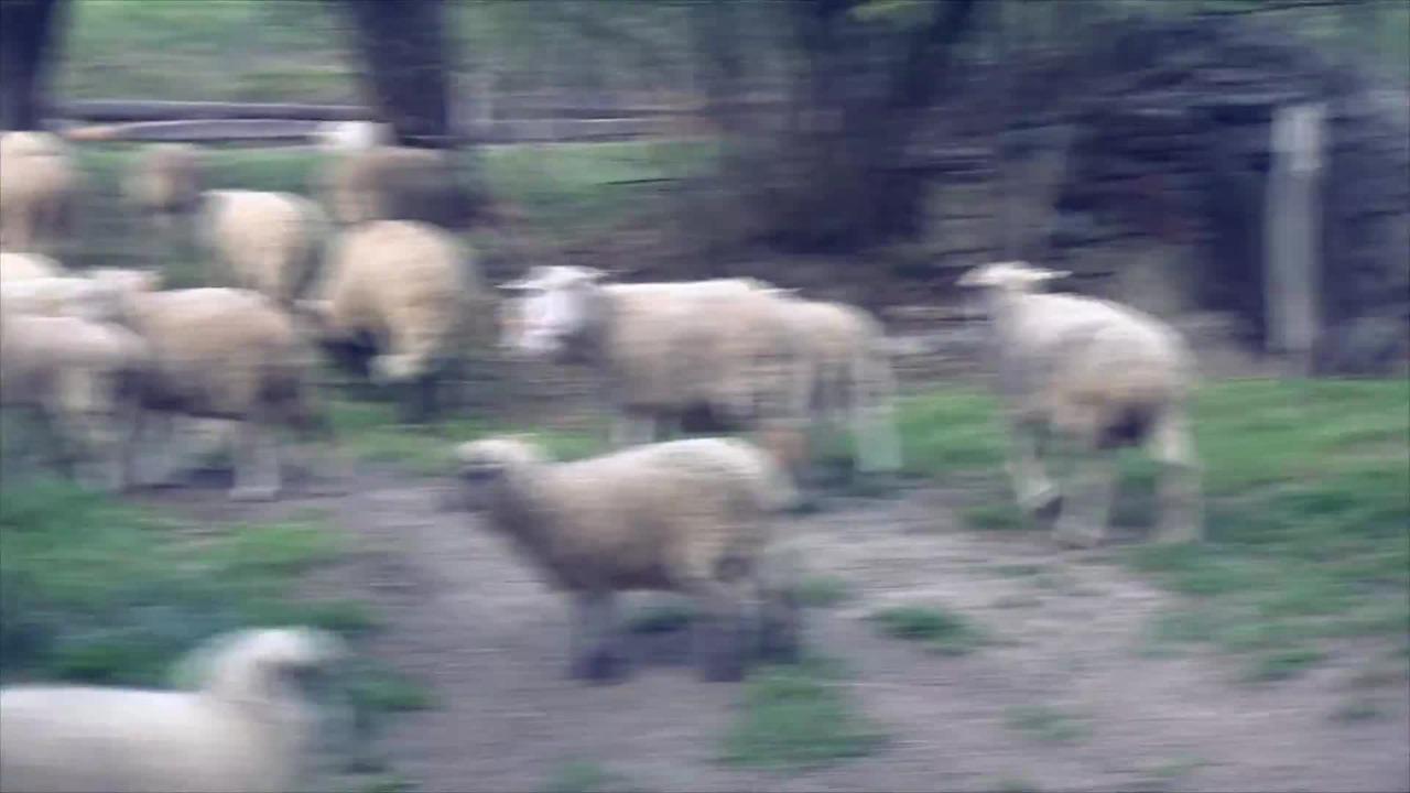 Zwierzęta z farmy/farm animals - zwierzęta dla dzieci/animals for kids -  owce/sheep