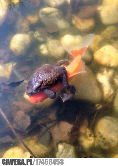 żaba,rybka,heheszki