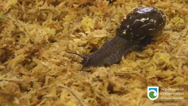 Nowa Zelandia Atak Film Photo: Mięsożerny ślimak