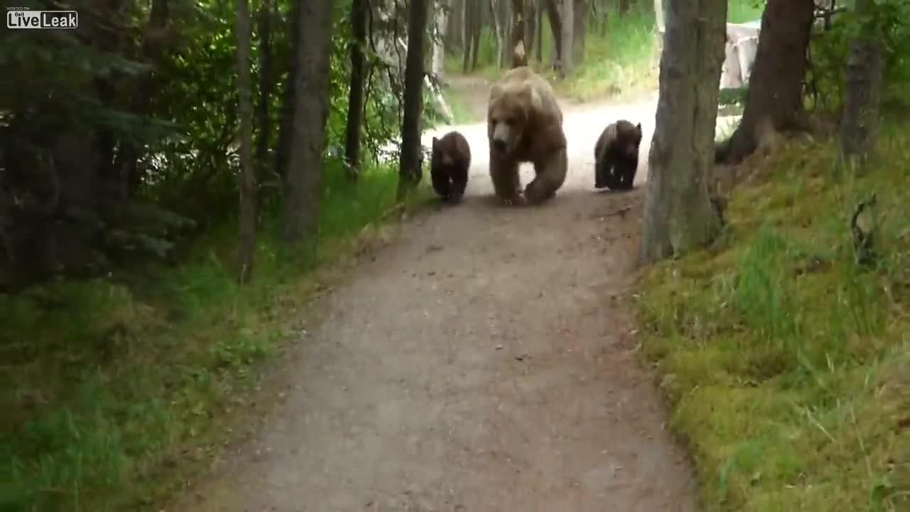 Pierwsze Wędrówki Grizzly Bear