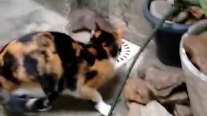 Szczur w bardzo sprytny sposób ucieka z zasadzki
