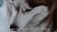 Siberian Husky is the most lovely dog on this planet