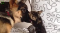 Dogs Meeting Kittens for the First Time Compilation 2014 [HD]
