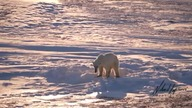 Warming Climate: Polar Bears of Hudson Bay